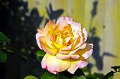 stock photo of english rose  - Single yellow and pink English rose in full bloom - JPG