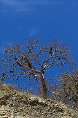 picture of dandruff  - Tree overgrown with beard lichen  - JPG