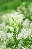 foto of meadowsweet  - Field of white summer wildflowers - JPG