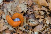 stock photo of mollusca  - Image of two slugs huddled together on a forest floor - JPG