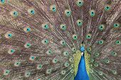 picture of indian peafowl  - Elegant indian peacock displaying his nice colors - JPG