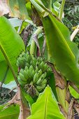 stock photo of bunch bananas  - A Banana tree with a bunch of green bananas - JPG