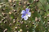 foto of lint  - Linum perenne (perennial flax blue flax or lint)