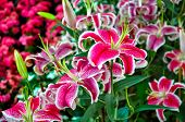 stock photo of stargazer-lilies  - Colorful Lily, flowers for love and Wedding.