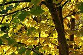 picture of elm  - September sun shimmer through the elms yellow leaves - JPG