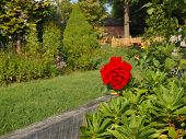 foto of climbing roses  - A fresh vibrant red rose blooms on a rose bush climbing along a fence in a lush green backyard in summer - JPG