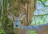 picture of deer rack  - Whitetail Deer Buck standing in a woods - JPG