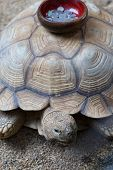 stock photo of turtle shell  - Coin collection bowl stick on the shell of large Turtle  - JPG