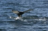 picture of whale-tail  - Humpback whale in the Atlantic ocean shows its tail - JPG