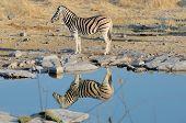image of moringa  - Zebra reflection at Moringa waterhole Etosha National Park Namibia - JPG