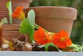 pic of nasturtium  - nasturtium with  terracotta pots and hazelnuts on table - JPG