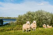 picture of dike  - Two curiously looking sheep together standing on a dike next to a Dutch river - JPG