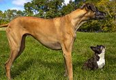 image of great dane  - Great Dane standing in green field with French bulldog friend - JPG