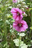 image of hollyhock  - Hollyhocks blooming in perennial garden in summer - JPG