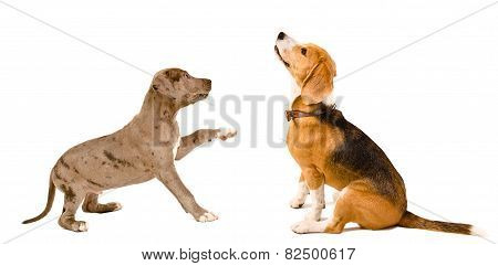 Beagle dog and puppy pit bull