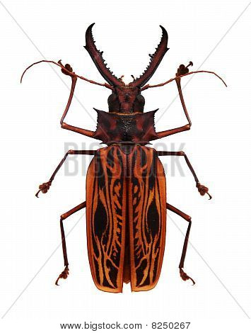 Big orange and black horned beetle