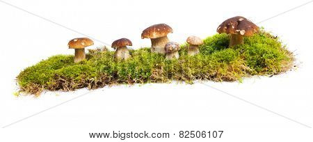 Six mushrooms Boletus edulis - porcino - growing in the moss isolated on white background