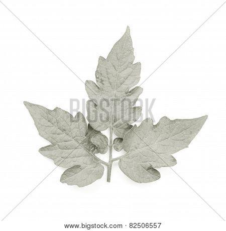 B&W Leaf Isolated