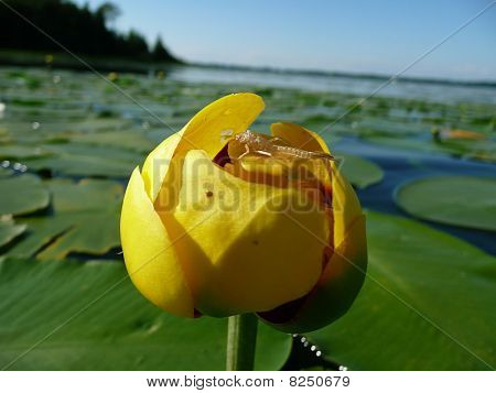 Exoskeleton on Yellow Pond lily