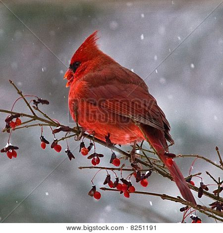 Mr Cardinal on Red Berry Bush in Snow