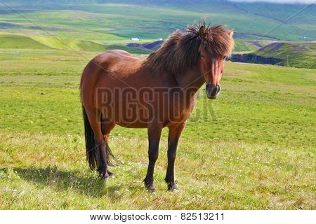 Warm summer day in Iceland. Farmer sleek bay horse with a light mane. Green lawn on the shores of the fjord