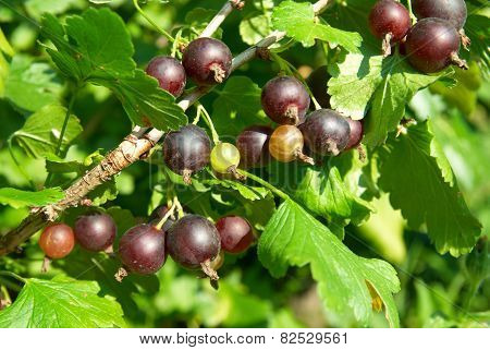 Bush Of Black Currants