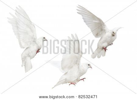 photo of flying doves isolated on white background