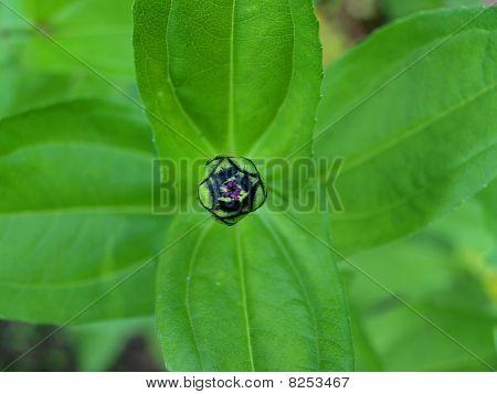Compact flower bud