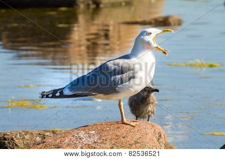 Seagull With A Baby Bird On A Stone