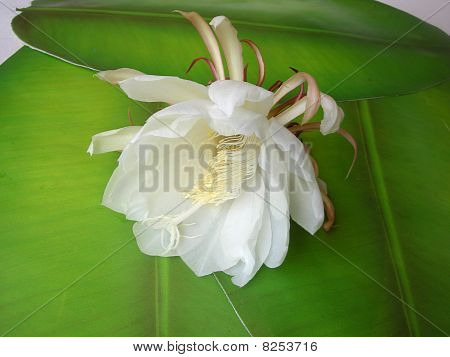 Queen Of The Night Brahma Kamal Twenty Two
