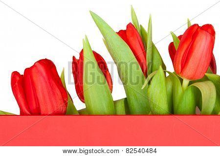 beautiful tulips in red box