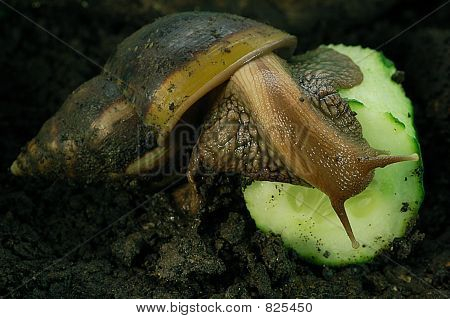 Achatina Fulicia with cucumber.