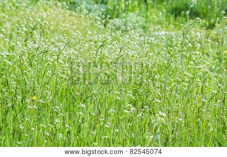 Spring Lawn With Wild Flowers