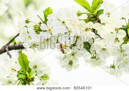 Bee On A Blossoming Branch Of Cherry-tree