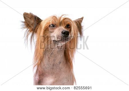 Portrait of a red chinese crested dog