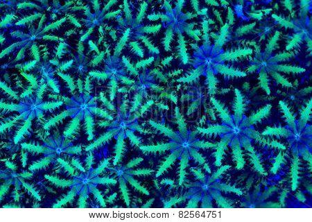 Sympodium Coral Polyps