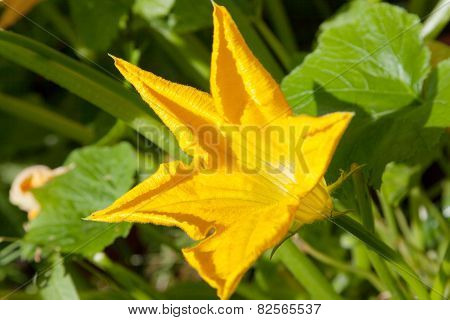 Blossoming Of A Vegetable Marrow