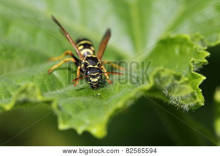The Wasp Sits On A Leaf