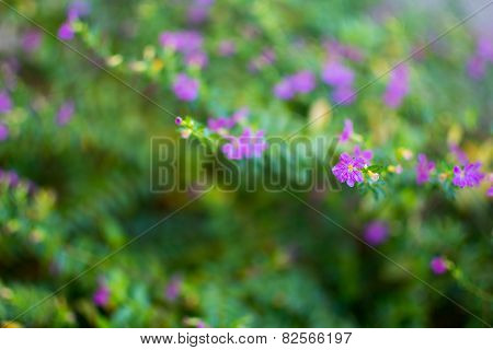 Cuphea hyssopifolia, Mexican Heather, Elfin Herb or False Heather.
