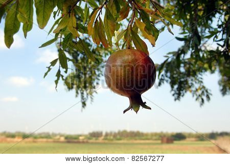 Pommegranate Hanging On A Tree