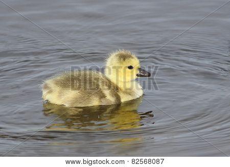 Gosling on Lake