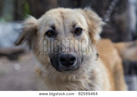 Portrait Closeup From An Alsatian Dog Female