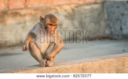 Baby Macaque Monkey, Jaipur, India