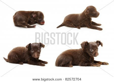Terrier puppy from between one day and six weeks old isolated on a white background.