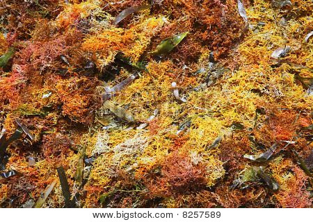 Colorful Yellow Red Seaweed Sea Algae