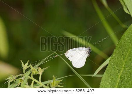 Butterfly Wings In A Cobweb