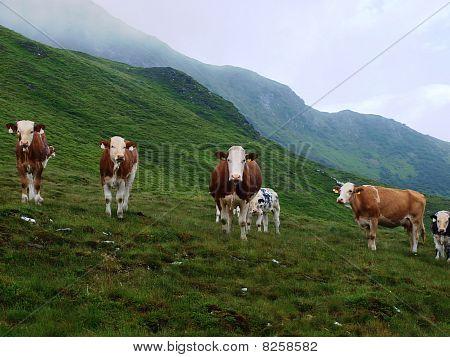 Cows On Alpine Hall