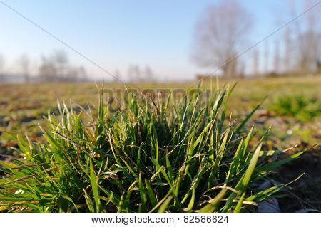 A Cluster Of Grass