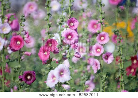Hollyhock Flower In The Nature