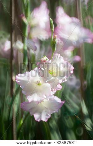 Gladiolus Flower In The Garden
